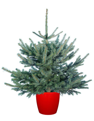 Colorado Blue Spruce ( Picea Pungens Glauca) - UCSFresh