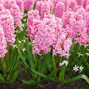 Fondant - Bedding Hyacinth Bulbs - UCSFresh
