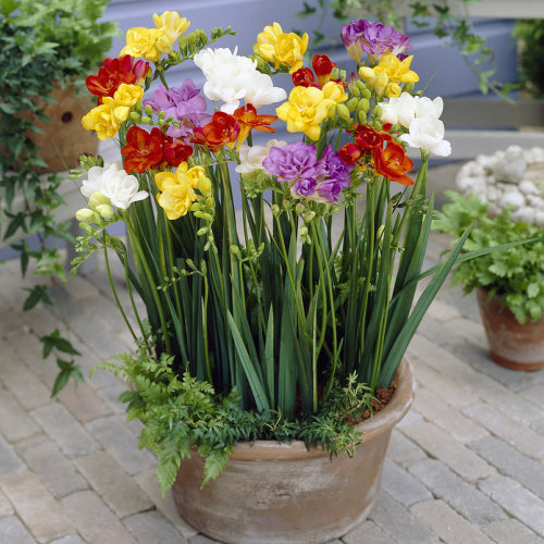 Freesia Double Mixed Bulbs - UCSFresh