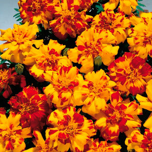 French Marigold Bicolour - UCSFresh