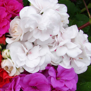 Geranium Trailing Double Flower White - UCSFresh