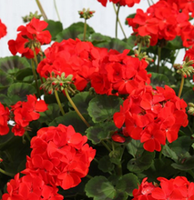Load image into Gallery viewer, Geraniums - UCSFresh