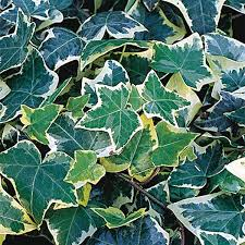 Hedera Gold Variegated - UCSFresh