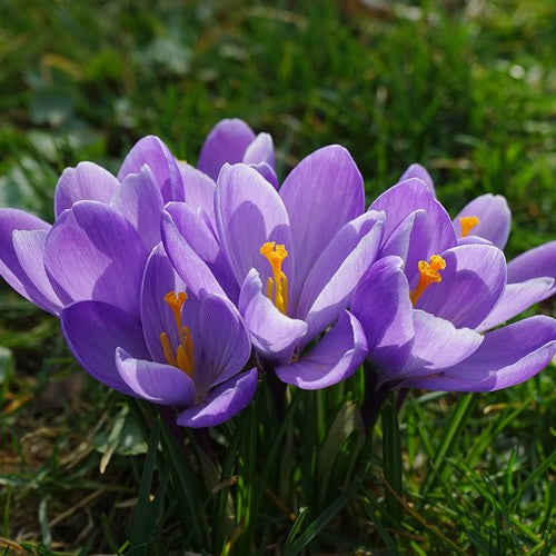 Large Flowering Blue - Crocus Bulbs - UCSFresh