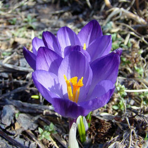 Large Flowering Purple - Crocus Bulbs - UCSFresh