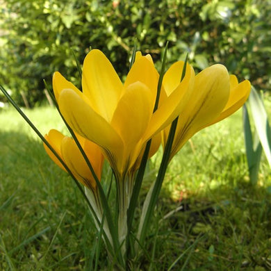 Large Flowering Yellow - Crocus Bulbs - UCSFresh