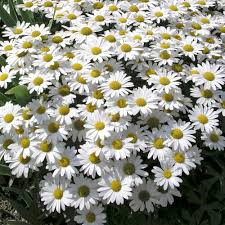 Leucanthemum Maximum Snow Lady - UCSFresh