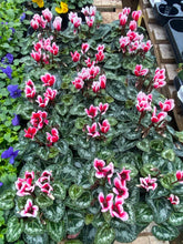 Load image into Gallery viewer, Cyclamen 10.5cm Pot