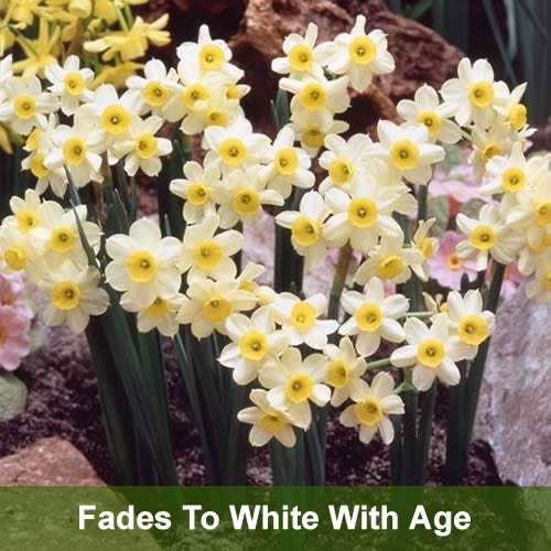 Minnow - Rockery Narcissi Bulbs - UCSFresh