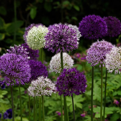 Mixed Alliums - Allium Bulbs - UCSFresh