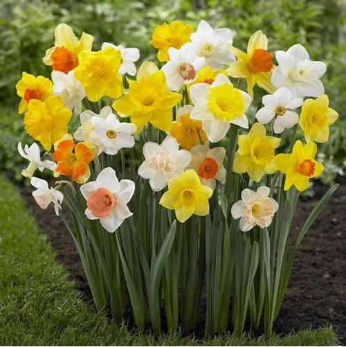 Mixed Daffodil Bulbs - UCSFresh