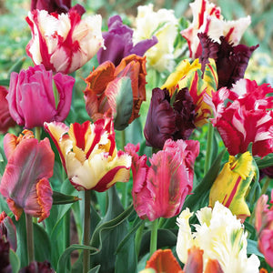 Mixed Parrot Tulip Bulbs - UCSFresh