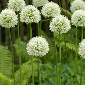 Mont Blanc - Allium Bulbs - UCSFresh