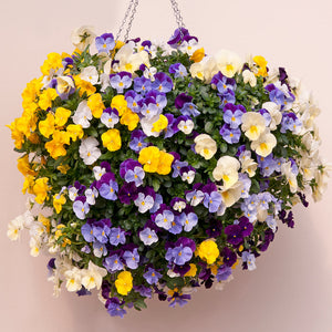 "Pansy filled 12"" round prepared hanging Basket - UCSFresh"
