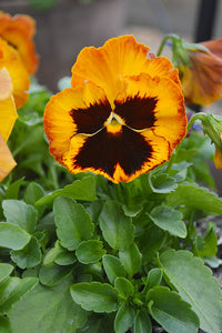 Pansy Orange Blotch 9cm Pot - UCSFresh