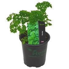 Organic Parsley Plant - UCSFresh