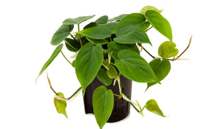 Philodendron Scandens - UCSFresh