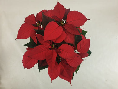 Poinsettia Christmas Feeling Red 13cm Pot - UCSFresh