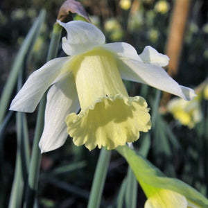 Sail Boat - Rockery Narcissi Bulbs - UCSFresh