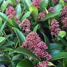 Load image into Gallery viewer, Skimmia Japonica Rubella 9cm Pot - UCSFresh