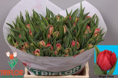 Tulips - Magic Price Double 38cms - UCSFresh