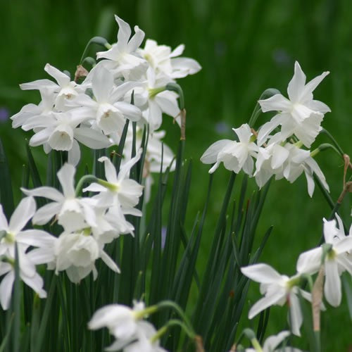 Thalia - Rockery Narcissi Bulbs - UCSFresh