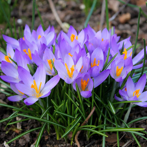 Whitewell Purple- Crocus Bulbs - UCSFresh