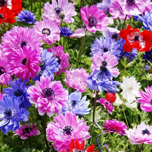 Anemone St Bridgid Double Mixed Bulbs - UCSFresh