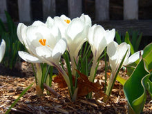 Load image into Gallery viewer, Crocus White 9cm Pot - UCSFresh