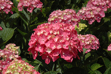 Load image into Gallery viewer, Hydrangea Macrophylla - UCSFresh