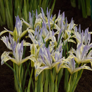 Iris Reticulata Painted Lady Bulbs - UCSFresh
