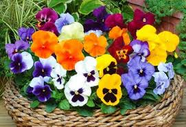 Mixed Pansies - UCSFresh