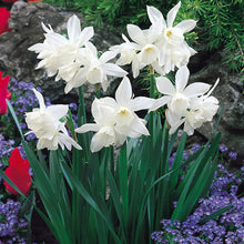 Load image into Gallery viewer, Narcissus Thalia 1 Litre Pot - UCSFresh