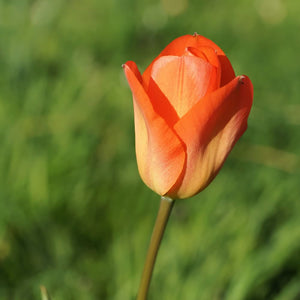 Orange Brilliant - Fosteriana Tulip Bulb - UCSFresh