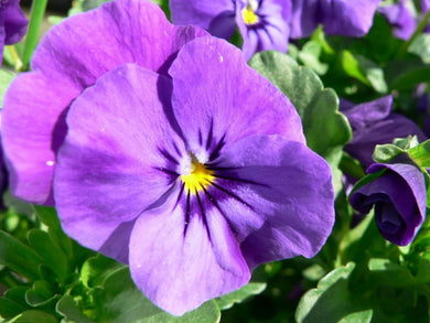 Pansy Purple 9cm Pot - UCSFresh