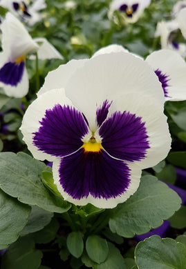 Pansy White Blotch 9cm Pot - UCSFresh