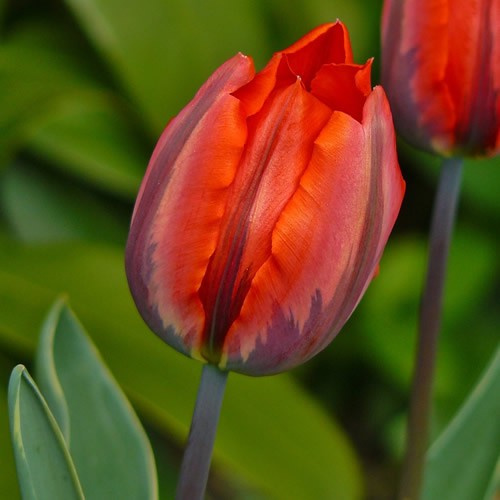 Princess Irene - Single Early Tulip Bulbs - UCSFresh