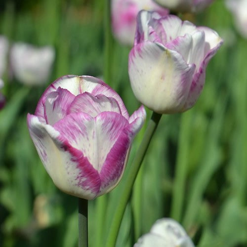 Shirley - Single Late Tulip Bulbs - UCSFresh