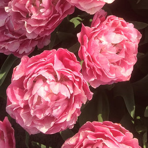 Think Pink - Double Tulip Bulbs - UCSFresh