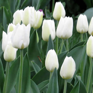 Diana - Single Early Tulip Bulbs - UCSFresh