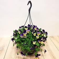 Viola filled 3ltr prepared hanging Basket - UCSFresh
