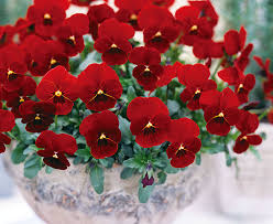 Viola Red 9cm Pot - UCSFresh
