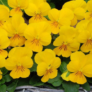 Viola Yellow 9cm Pot - UCSFresh