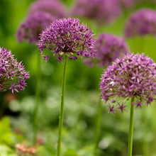 Load image into Gallery viewer, Violet Beauty - Allium Bulbs - UCSFresh