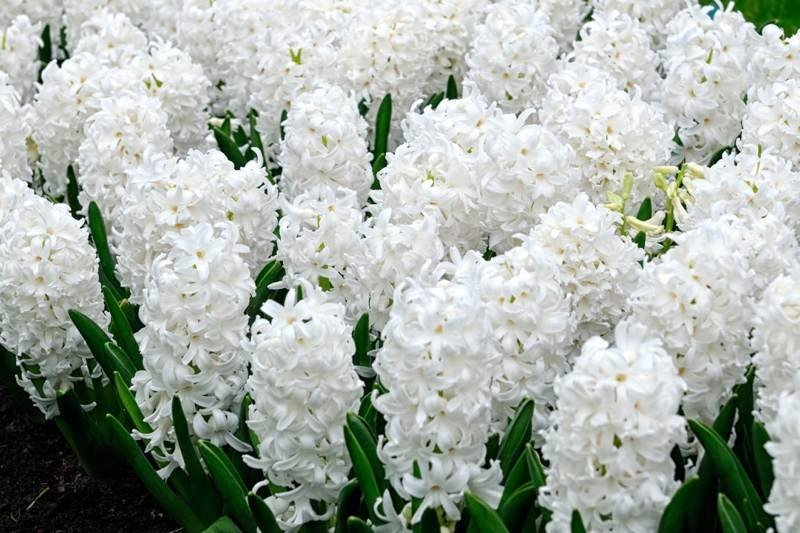Hyacinth White 9cm Pot - UCSFresh