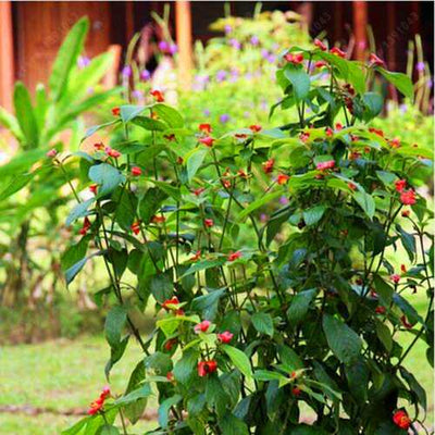 Egrow 100Pcs Red Lips Flower Seeds Sexy Kiss Rosy Lip Plants Garden Bonsai Psychotria Elata Seeds
