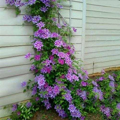 Egrow 100Pcs Clematis Flower Seeds Perennial Vines Climbing Clematis Plant Seed Garden Decoration
