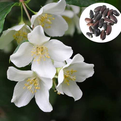 20pcs Garden White Flower Mock Orange Seeds Philadelphus Incanus Plant