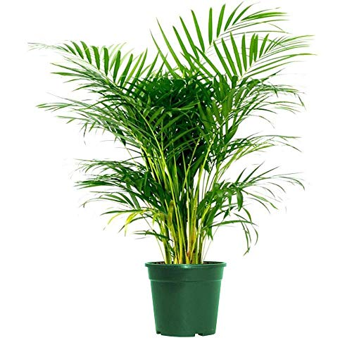 Areca Palm Indoor/Outdoor Air Purifier Live Plant Live Palm not Fake