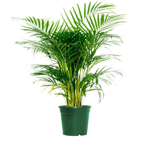 Image of Areca Palm Indoor/Outdoor Air Purifier Live Plant Live Palm not Fake
